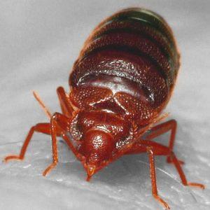 Bedbugs Control Singapore