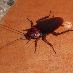 cockroach control singapore