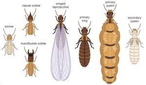 Different Castes Of Termites